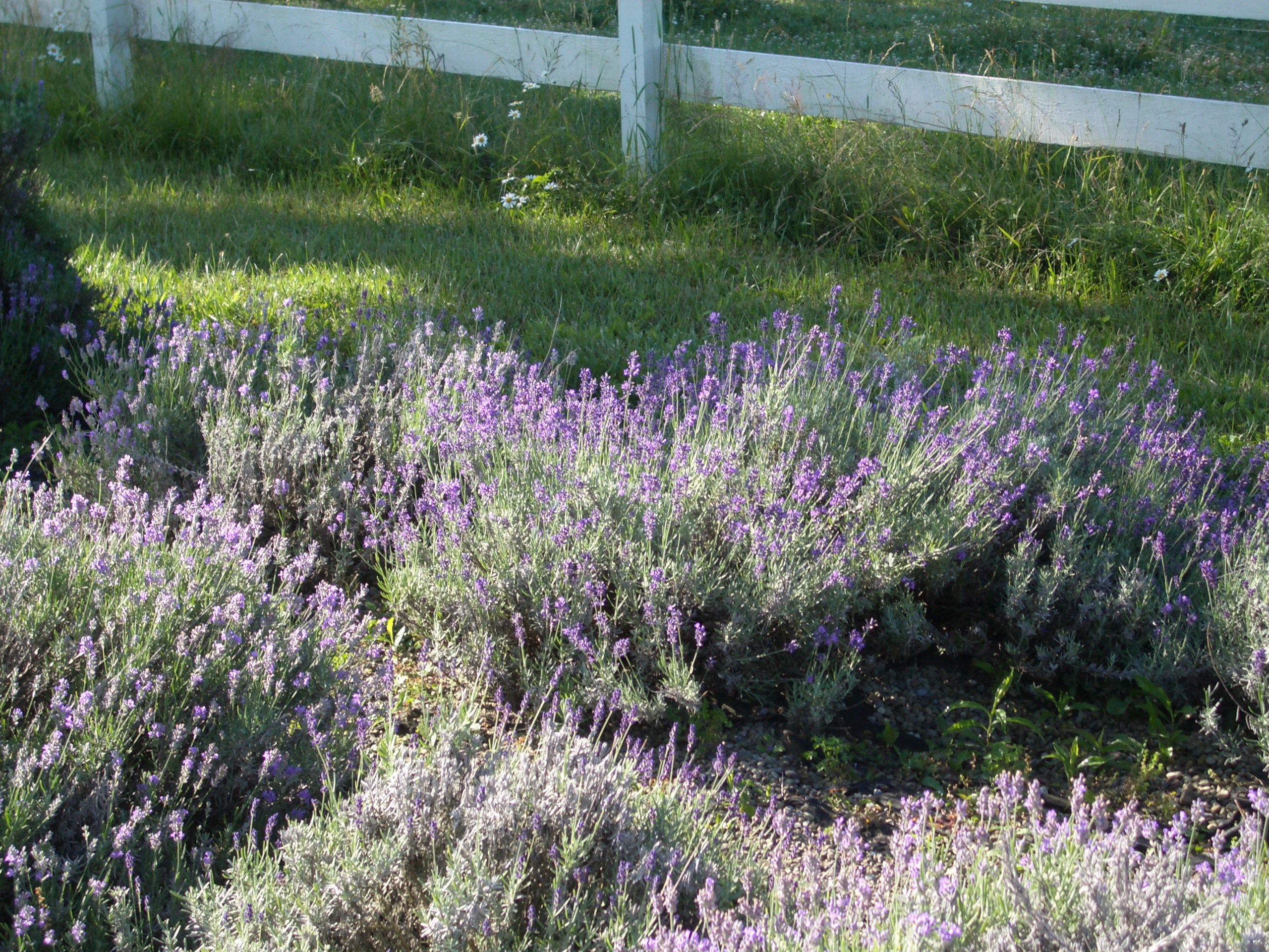 Tour our lavender gardens in Knox, Pa.