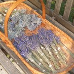 Dried Lavender Stems