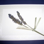Pressed, dried Lavender Flowers.