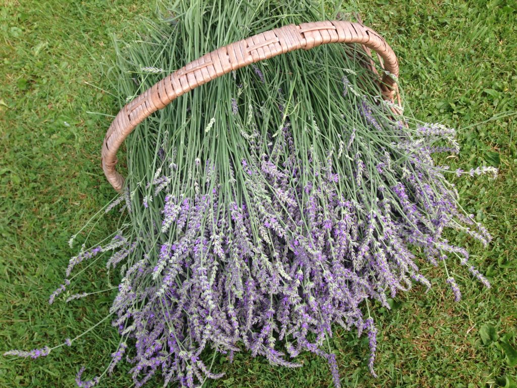 Phenomenal Lavender Stems
