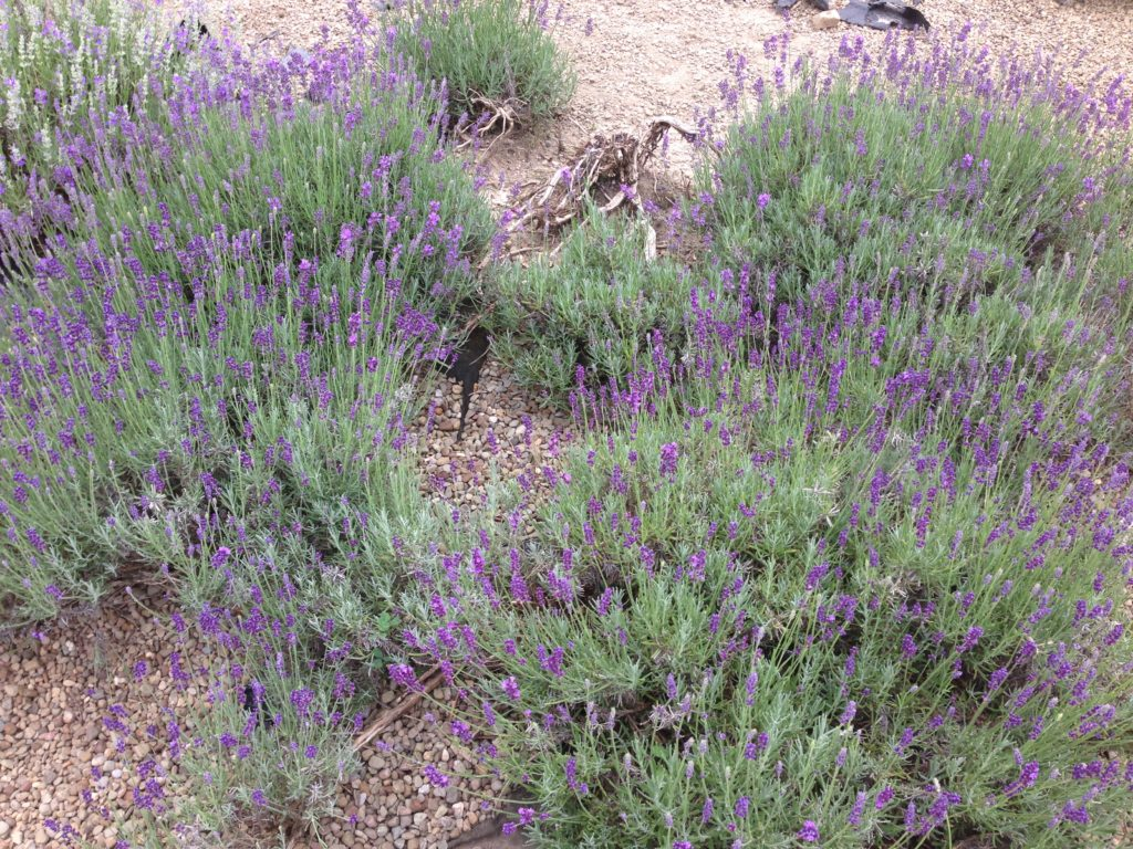 Lavender Propegated by Layering