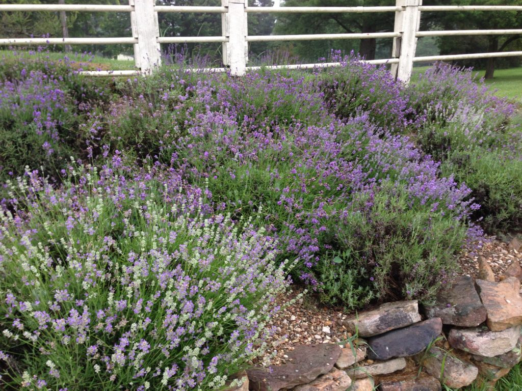 Lavender on the Barm Bridge